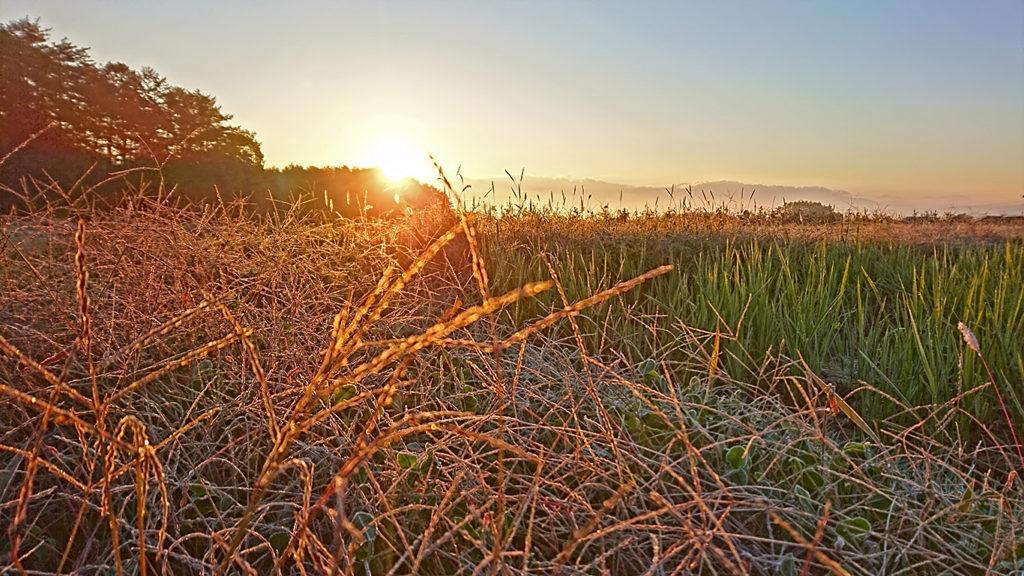 朝日に輝くメヒシバの穂についた霜