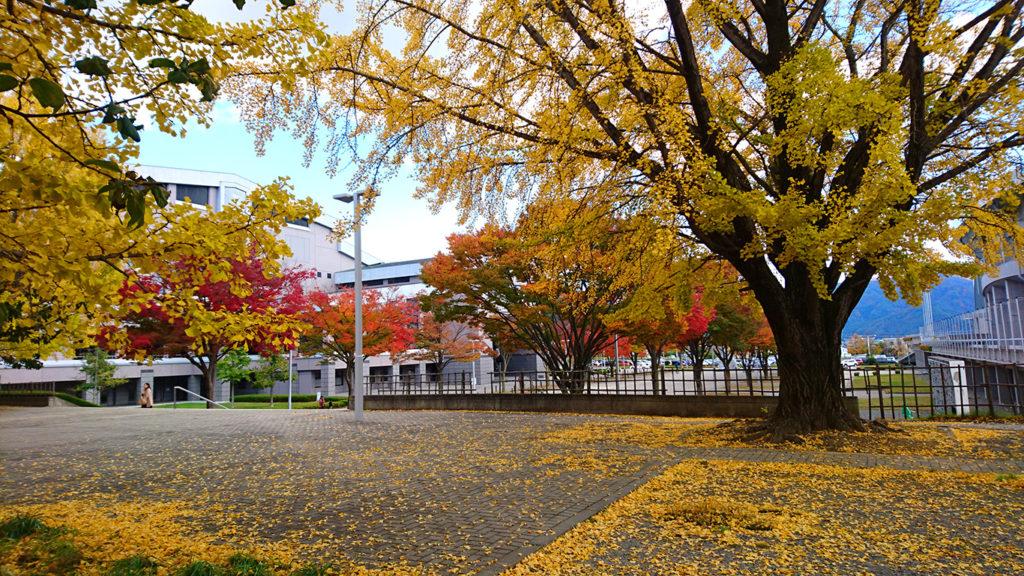 松本市総合体育館のイチョウ