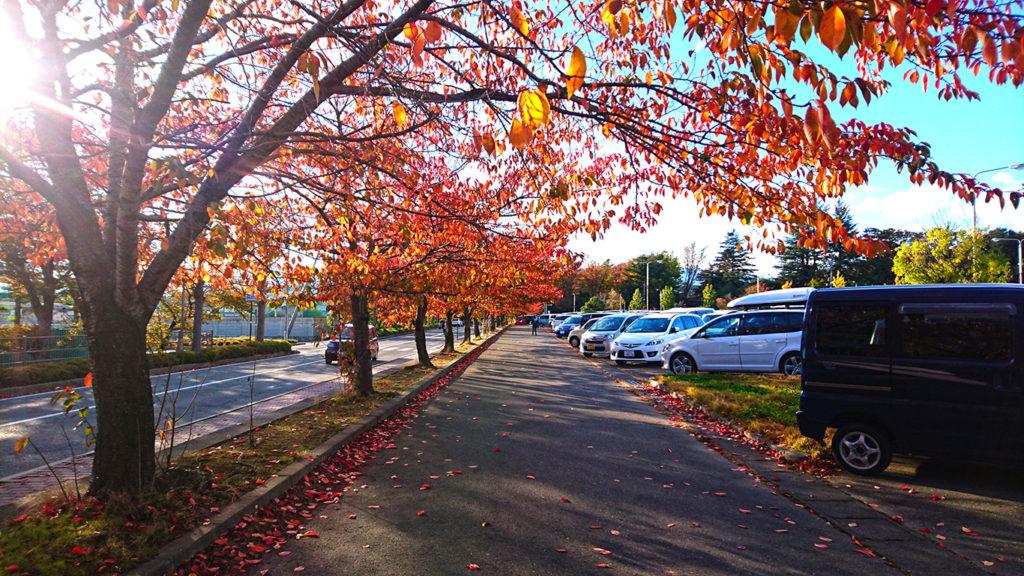 松本市総合体育館駐車場横の桜の紅葉