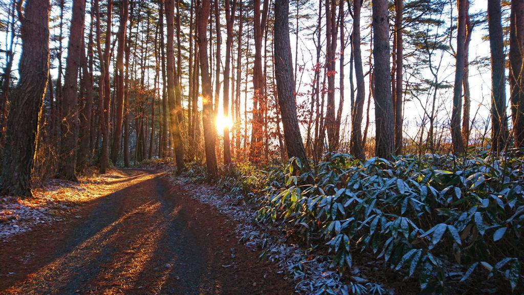林の中に差し込む朝日と雪を被ったクマザサの葉