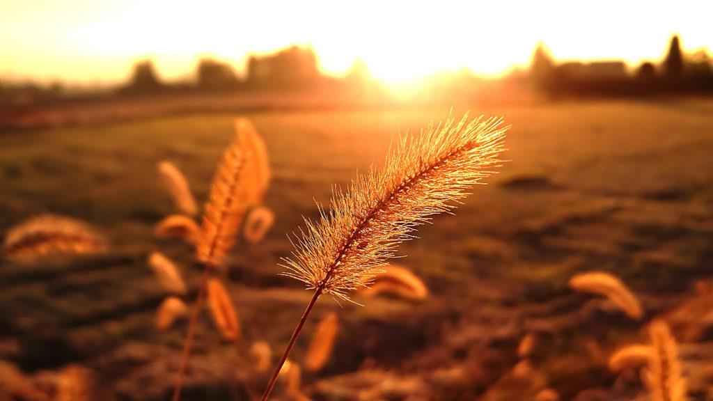 朝日に輝くエノコログサの穂