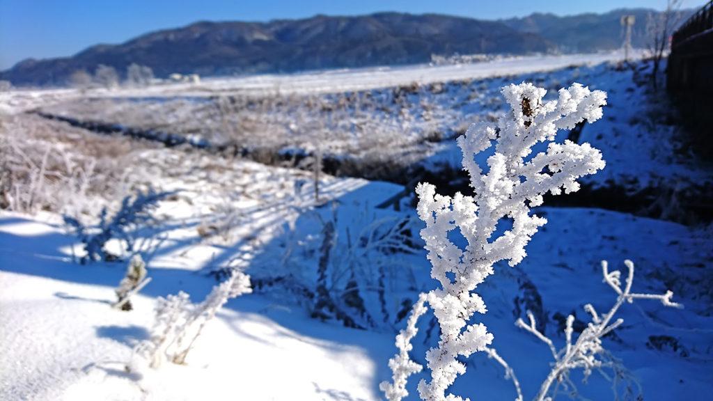 白馬 樹氷化した雑草