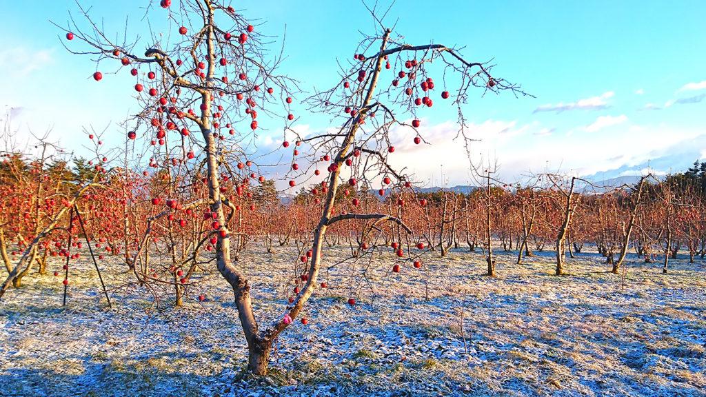白くなったリンゴ園とリンゴの実