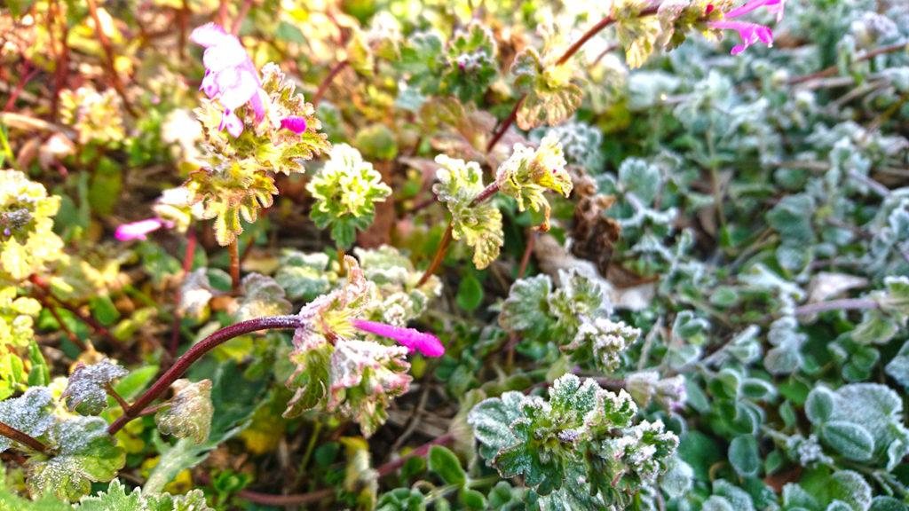 霜とホトケノザの花