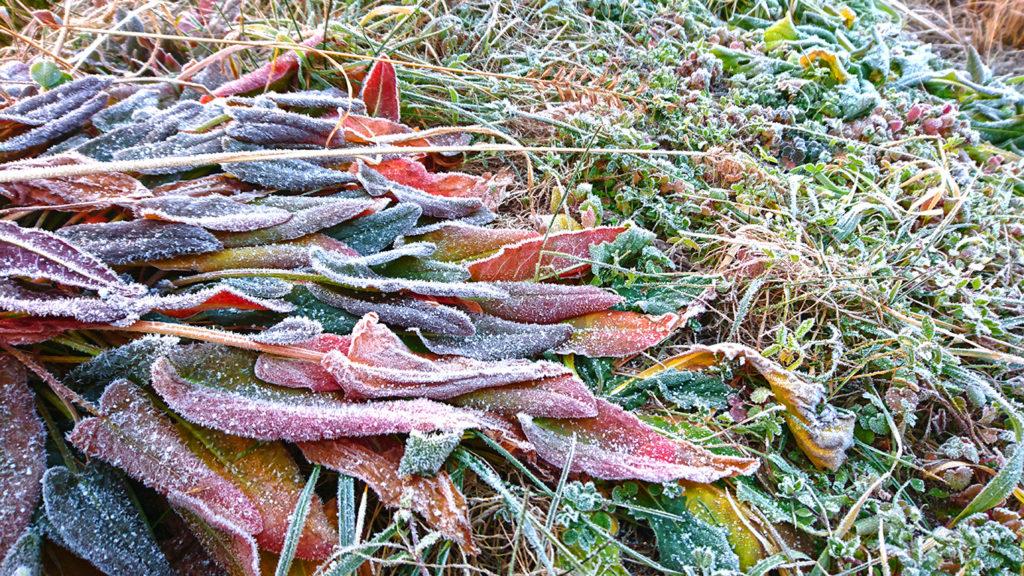 冬のスイバの葉