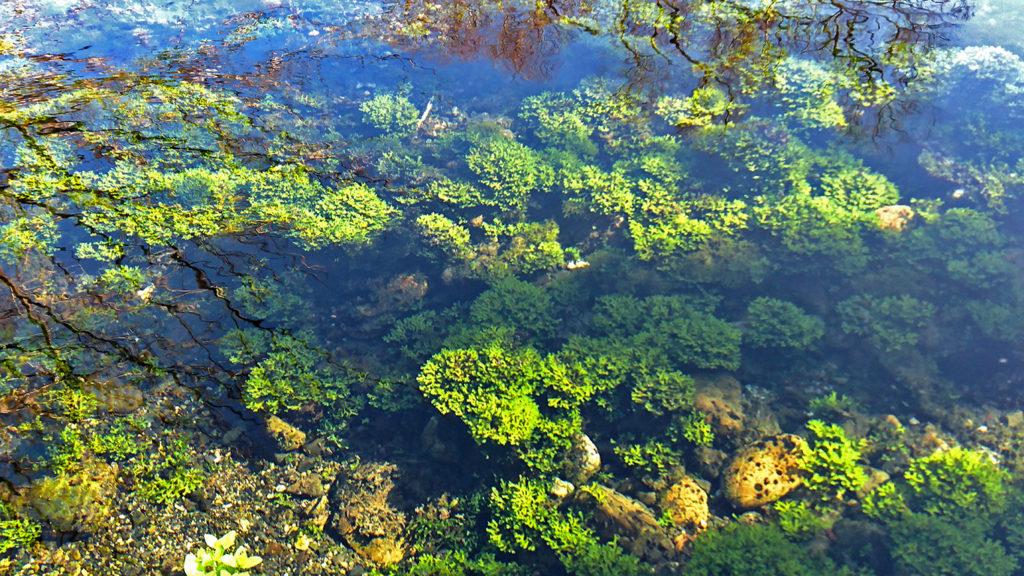 安曇野湧水群公園のホソバミズゼニゴケ