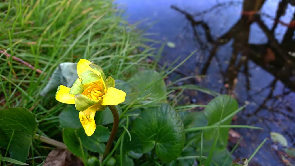 田淵行雄記念館の季節外れに咲き始めるリュウキンカの花