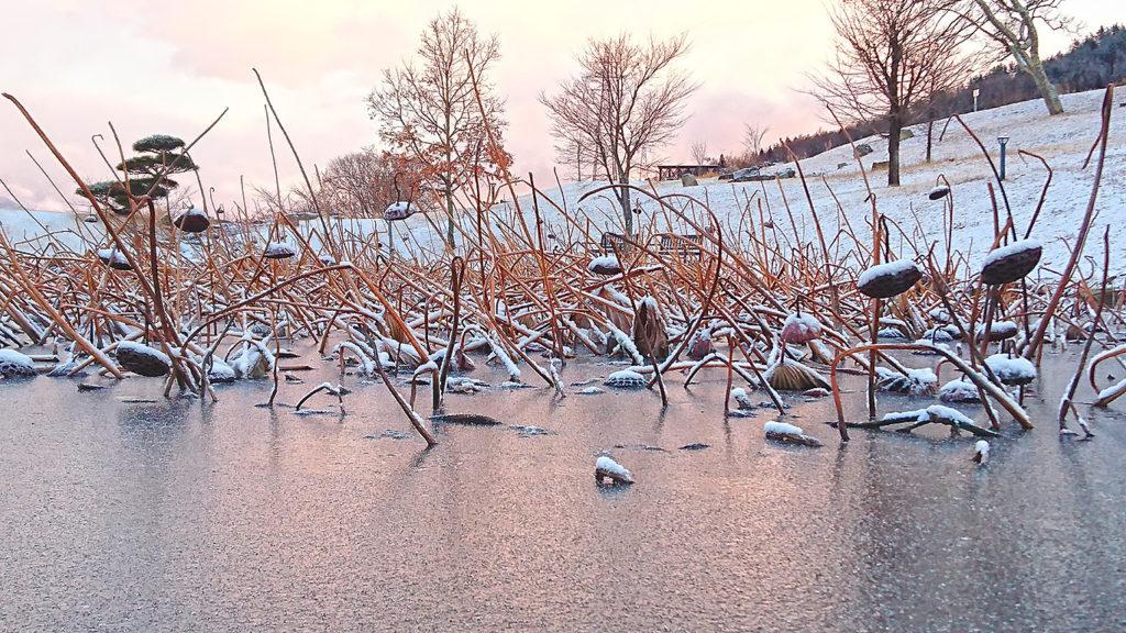 池田町クラフトパークの凍てつくハス池