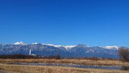 御宝田遊水池の白鳥を遠くから