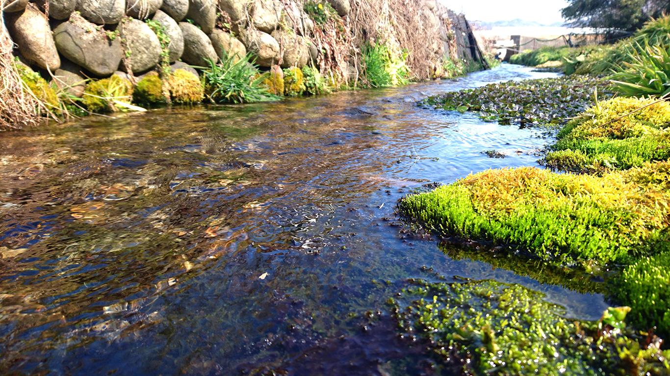 春めくわさび田の用水路の流れをシネマグラフで ほっこり安曇野案内