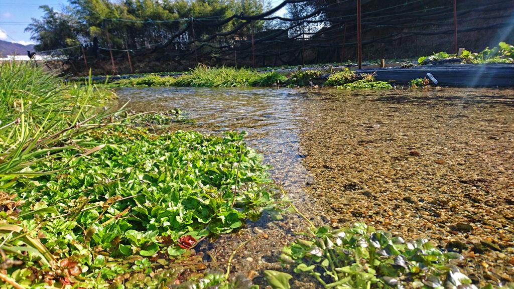 春めくわさび田の用水路2