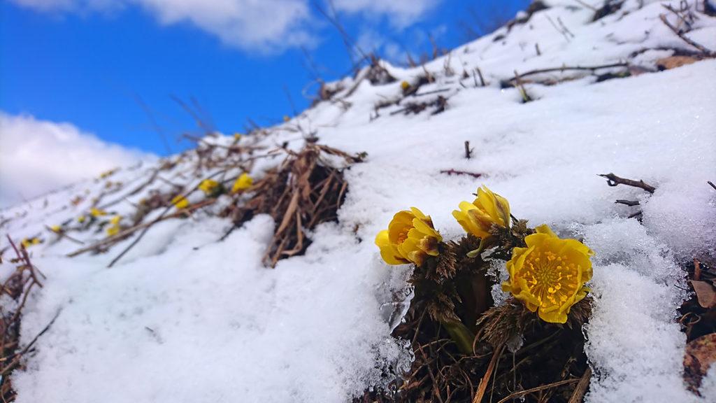 雪の中から顔を出すフクジュソウの花2