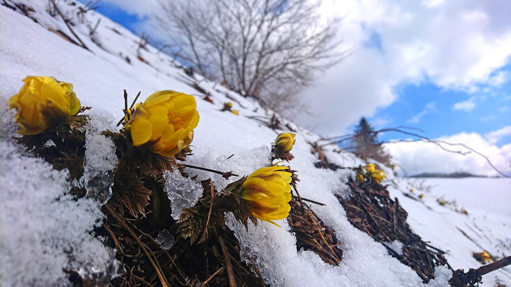 雪の中から顔を出すフクジュソウの花1
