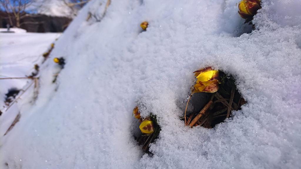 雪の中から顔を出すフクジュソウの花3