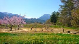 桃の花と有明山