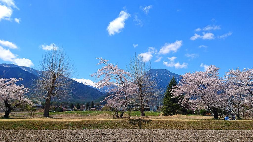 有明の森保育園横の桜