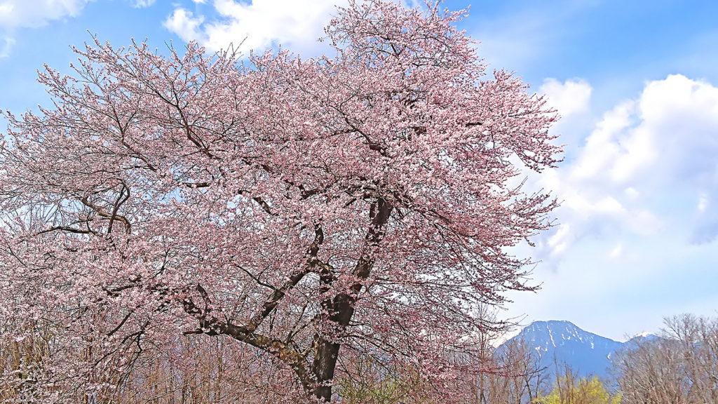 大きな桜の木と有明山