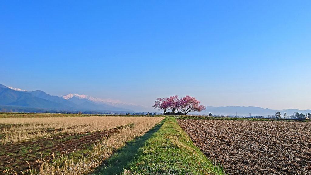 咲き始めた巾上の郷の桜