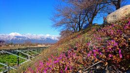 穂高川横のわさび田沿いの土手に咲くホトケノザ