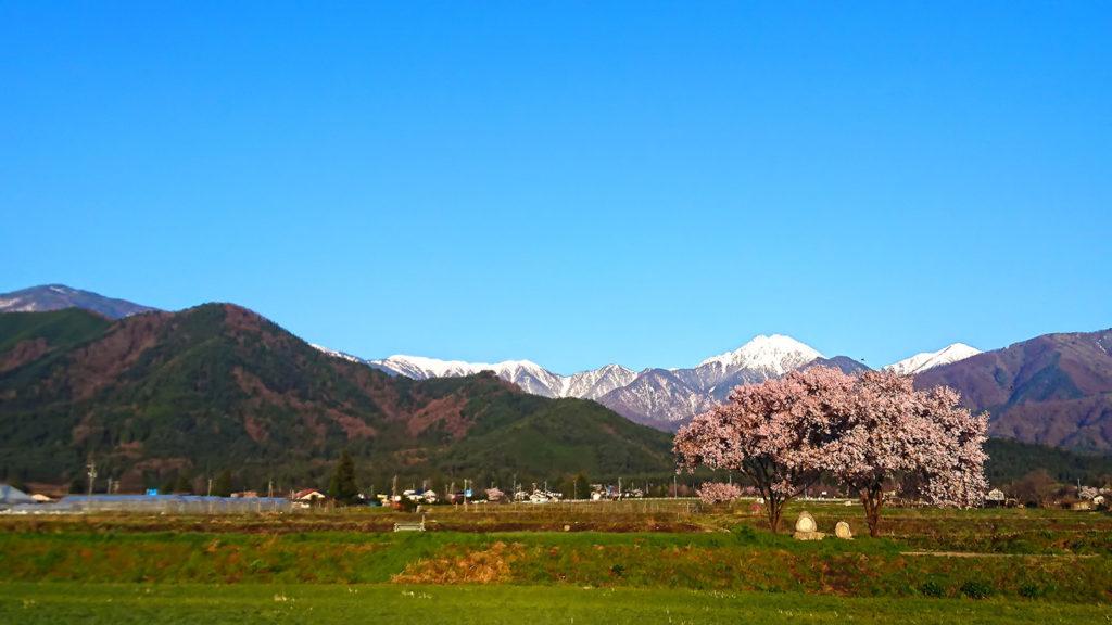 常念道祖神の桜1