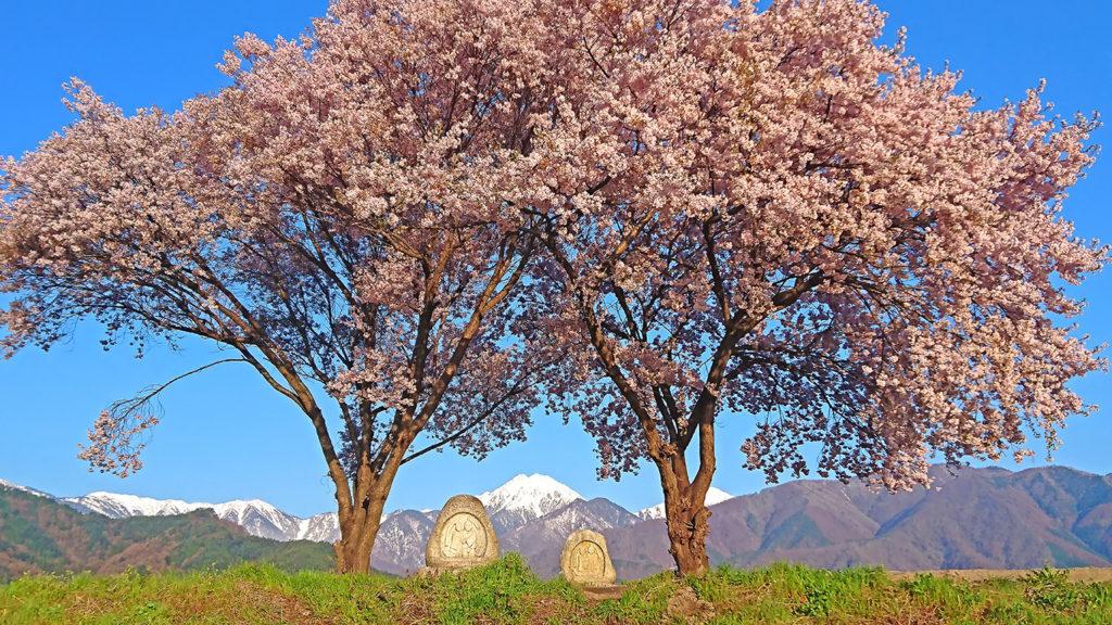 常念道祖神の桜2
