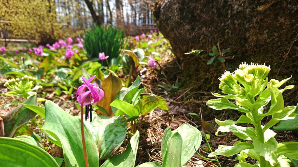 花盛りのカタクリの花とフキノトウ