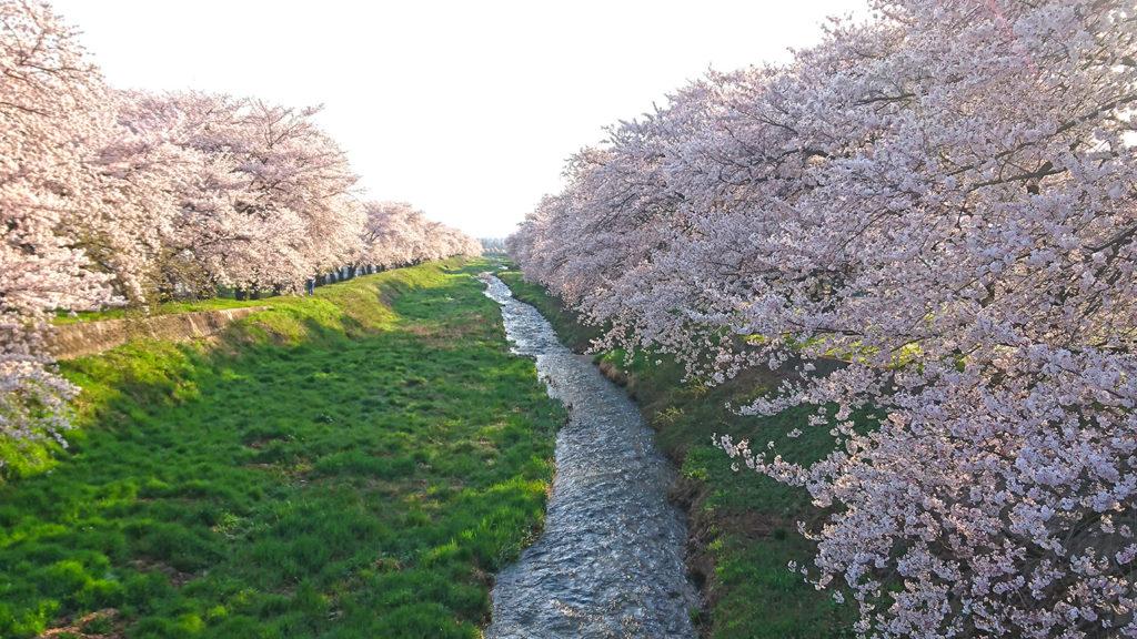 黒沢川の桜1