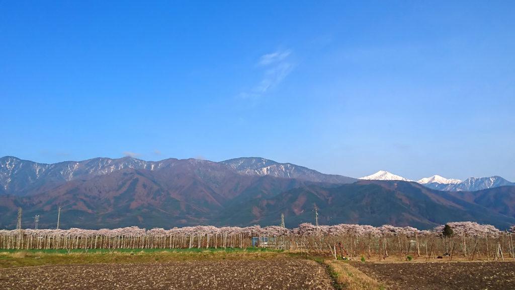 黒沢川の桜3