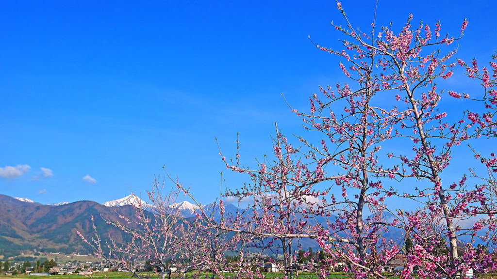 桃の花と常念岳
