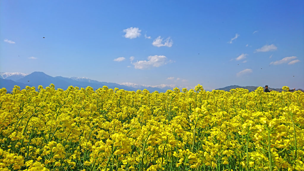 安曇野スイス村ハイジの里近くの菜の花畑