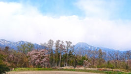 咲き始めた桜と有明山