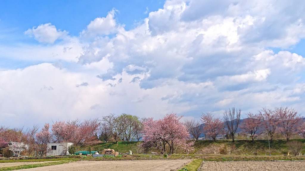 咲き始めた何気ない桜のある風景