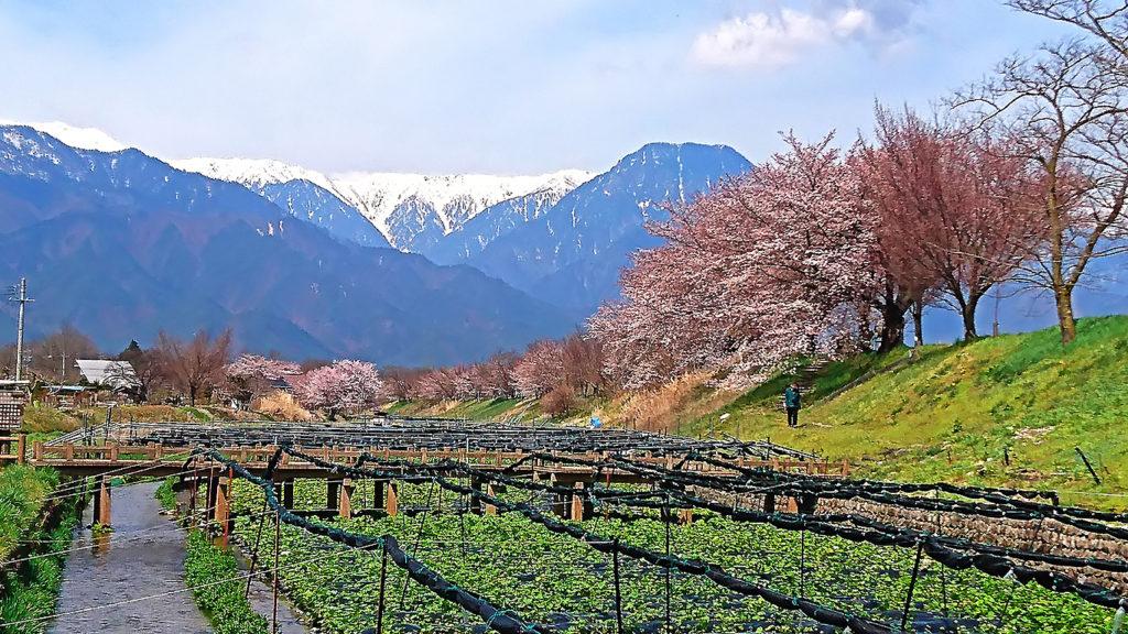 穂高川沿いのわさび田の桜と有明山