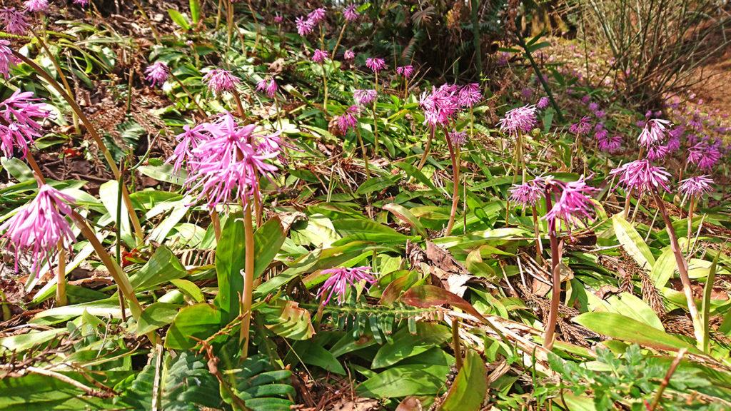 花盛りのショウジョウバカマ