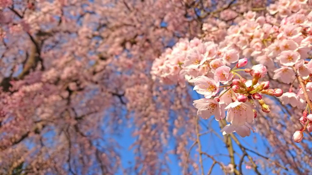 田多井観音堂の枝垂桜3