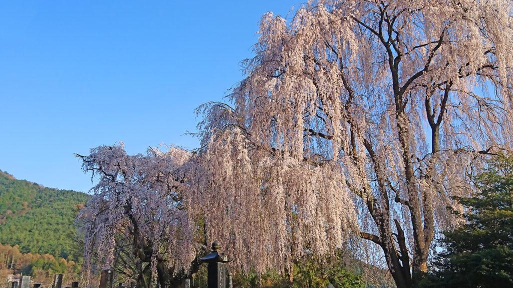田多井の墓地の枝垂桜