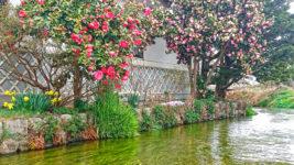 用水路沿いのツバキの花