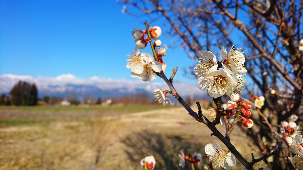 常念岳を背景に白梅の花を
