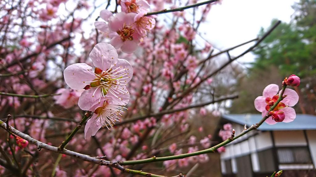 家の庭の梅の花