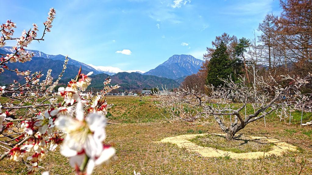 満開の白梅と有明山