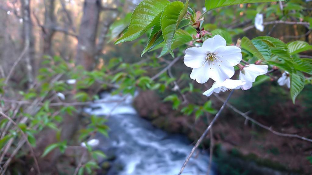 川の上に咲く山桜