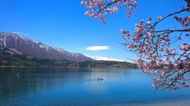 春の青木湖と桜1