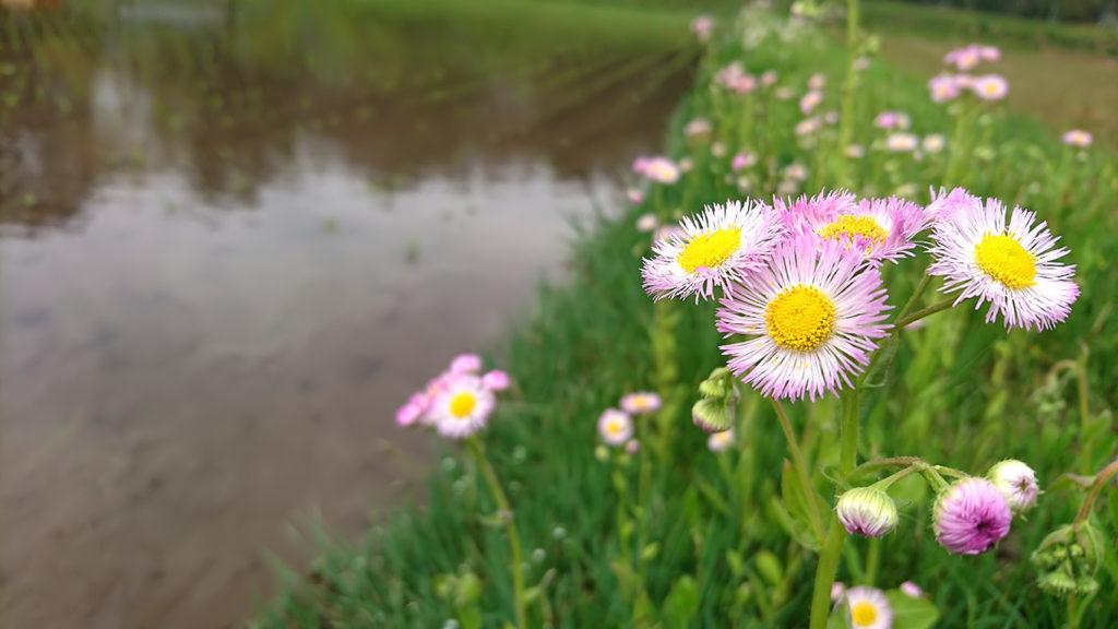 田んぼの畔に咲くハルジオン