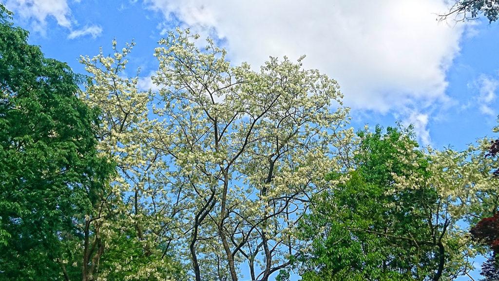 学者村内のニセアカシアの花