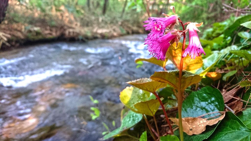 油川沿いのイワカガミの花1