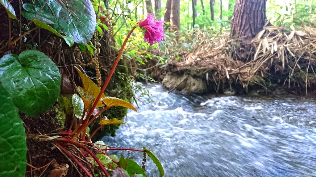 油川沿いのイワカガミの花