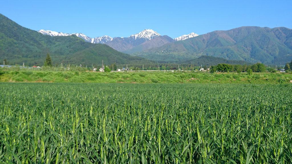 小麦畑と常念岳