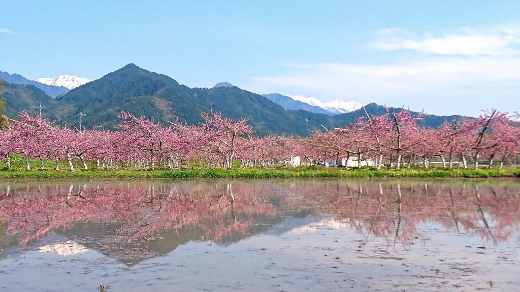 桃の花と水鏡