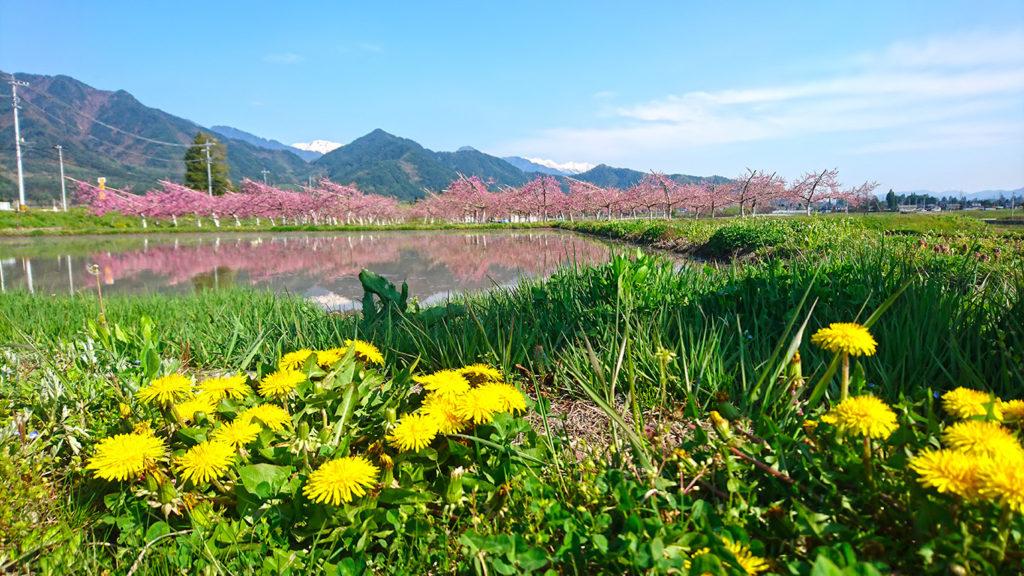 桃の花とタンポポ
