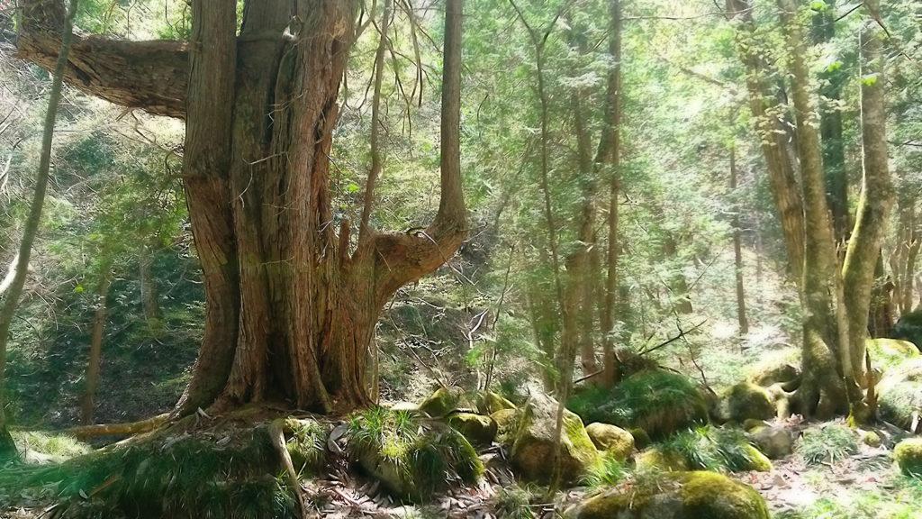 岩の上に生える巨木1
